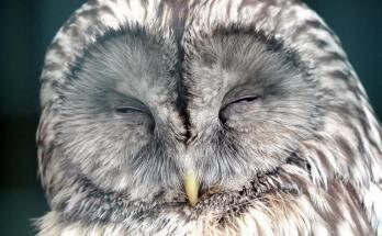 картинка сова