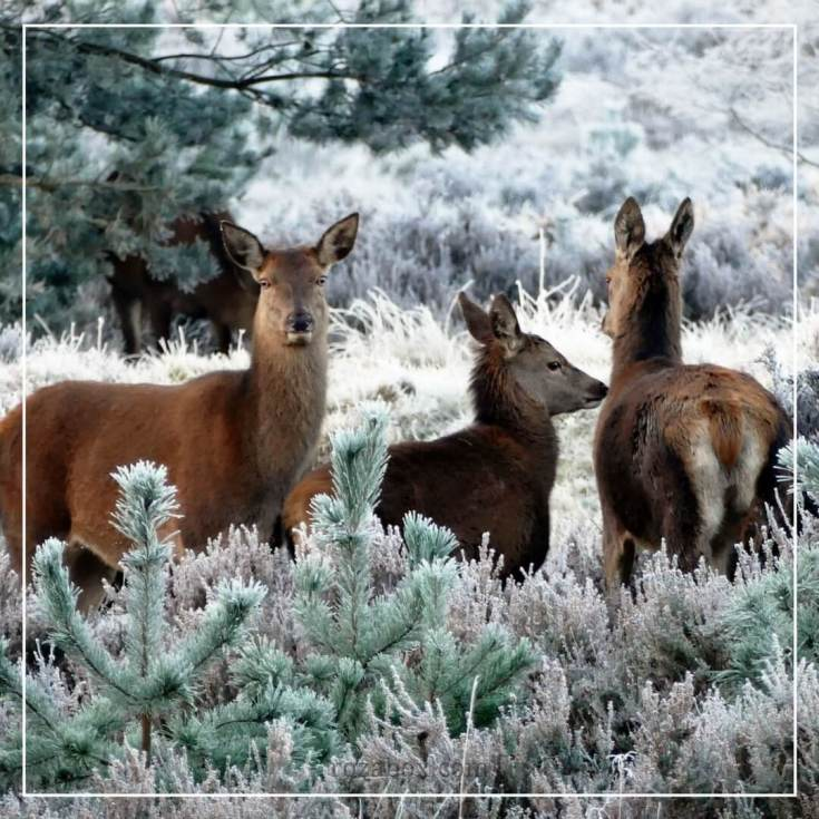 фото олень в зимнем лесу
