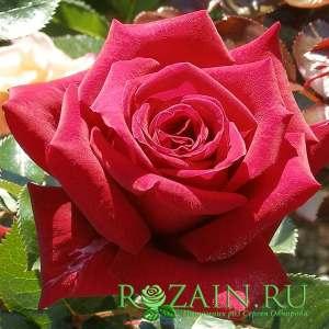 Саженцы роз Вельвет Алиби