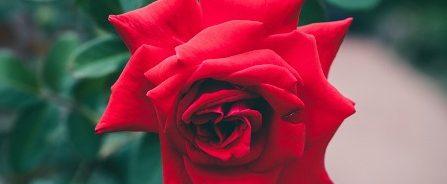 symbol miłości róża