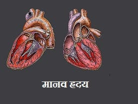 मानव हृदय की सरंचना एंव कार्य