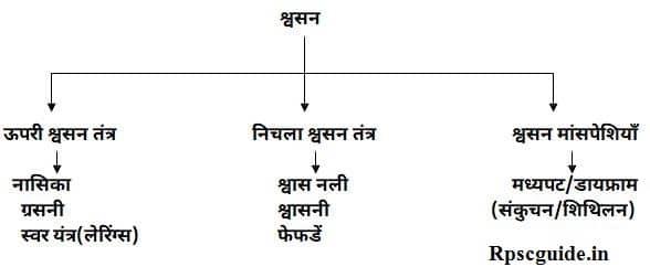 मानव श्वसन तंत्र क्या है? चित्र, परिभाषा, प्रकार Human Respiratory system In Hindi