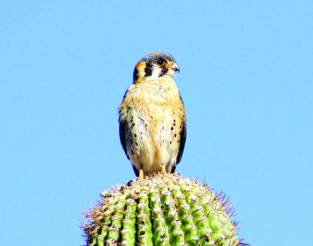 Kestrel on a saguaro cactus searching for prey