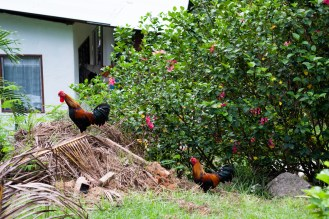 wild roosters!