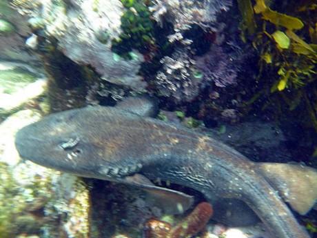 Blind shark at Newport reef