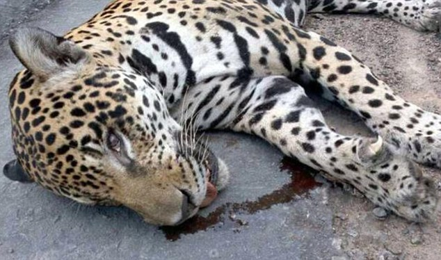 Brazil-army-Olympic-mascot-jaguar-shot-dead-