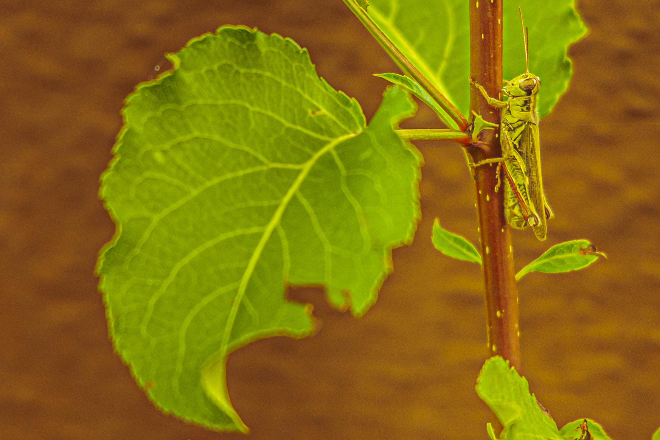 Photograph of a grasshoper sitting vertically on a branch with leaves on the left side of the photo.
