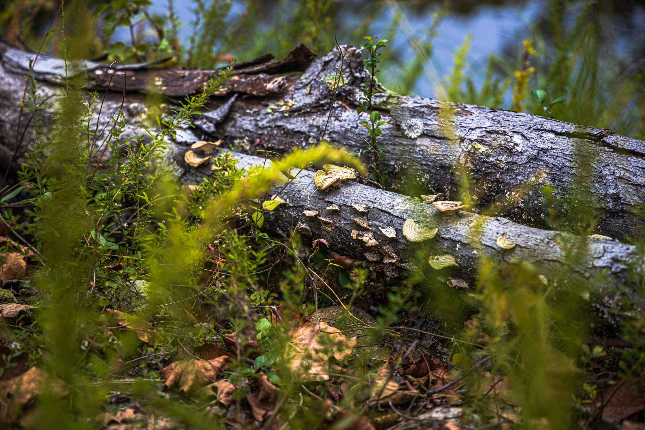 Decaying log with mushrooms growing from it, sitting in the midground, with grass and flowering plants in the foreground, and water in the far background.