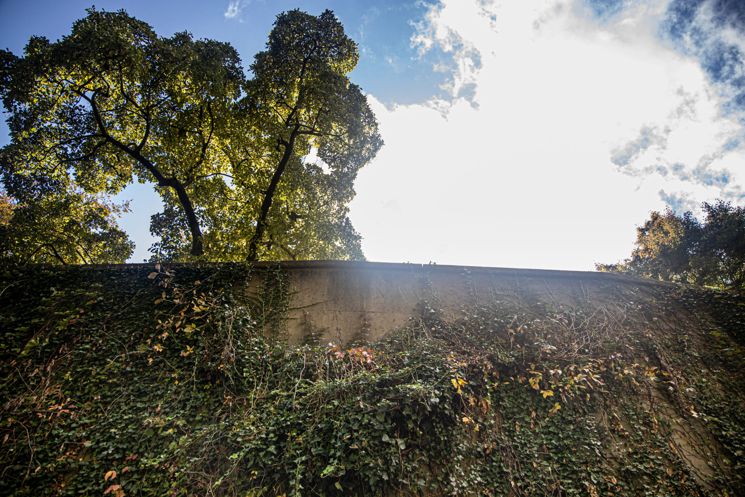 A retaining wall viewed from the bottom angle towrads up, with the sun shinning right on the edge of the wall from mid point to the right side of th photo, which is covered in vines, and a tree peering over the wall on the far left.