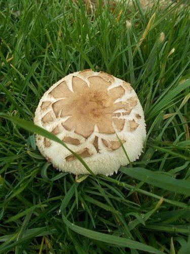 Parasol Mushroom (Nov 2016)