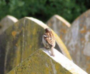 House Sparrow April 2017