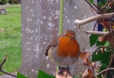Robin (November 2016)