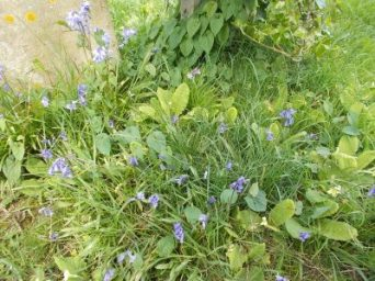 Bluebells Apr 2017