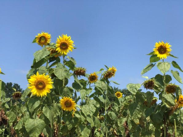 The sunflower field next to Sweet South Market is a popular selfie location. (Michael Tomberlin / Alabama NewsCenter)