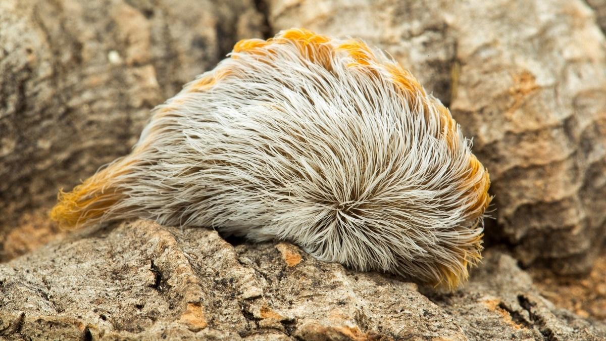Soft, cute, colorful nightmares: Venomous caterpillars of Alabama