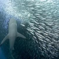 Formasi ikan yang menakjubkan