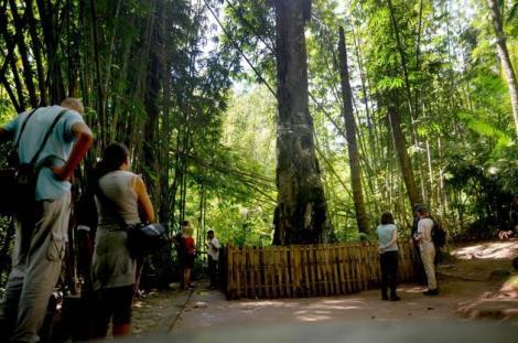 misteri di balik pesona pohon Tarra (1)
