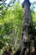 misteri di balik pesona pohon Tarra (10)