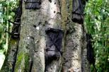 misteri di balik pesona pohon Tarra (2)