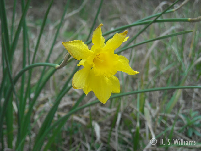 A bright yellow, single-cup daffodil (likely an old farmhouse variety developed in the late 1800s or early 1900s) bobs in the wind against a backdrop of winter-tan grass. The daffodil's foliage streaks upwards behind the flower, thin and tall like wild onion leaves.