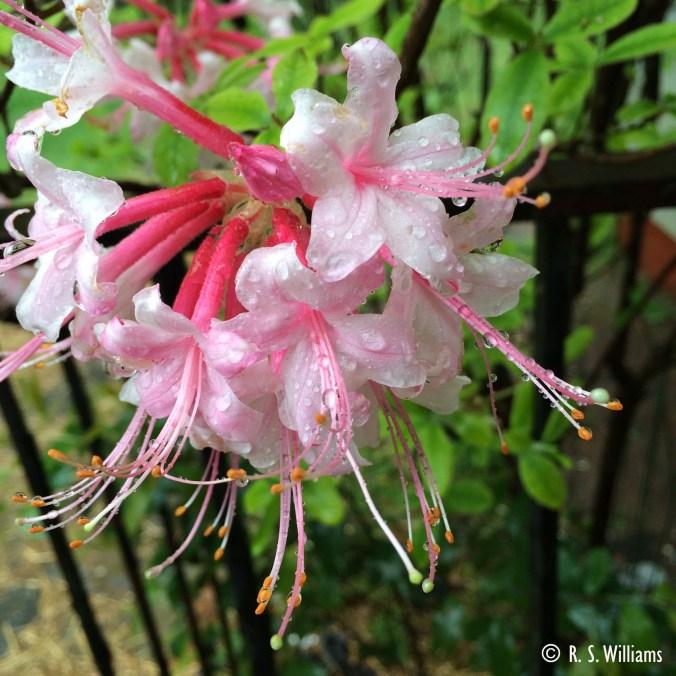 PinkPiedmontAzaleaWithRain_COPY_2015-04-10_12.59.07