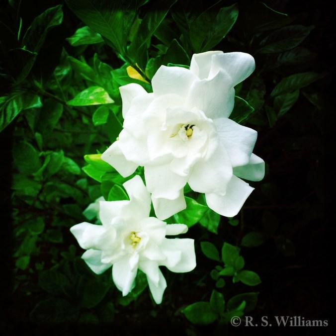 GardeniaGhostNo2_COPY_2016-06-06