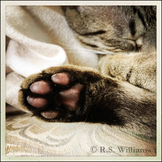 Against a creamy pastel background of jacquard seat upholstery and an old terry-cloth bath towel: A close-up of a gray tabby cat's rear foot, with dark pinkish-brown toes (aka