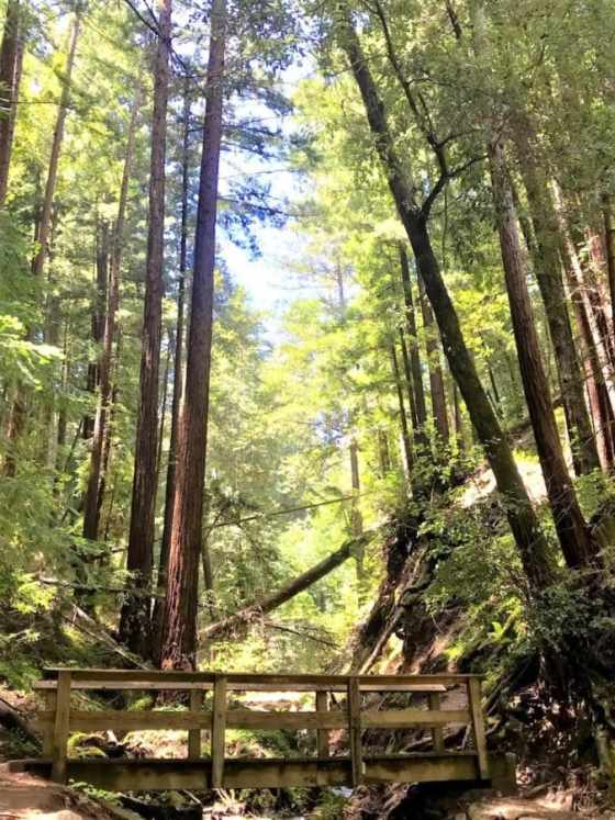 A bridge crosses a creek in a redwood forest.