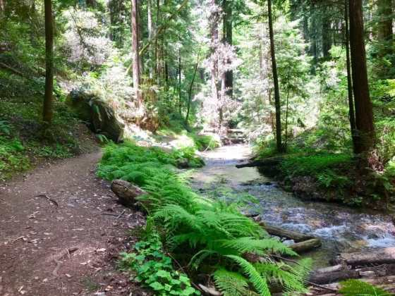 A pathway runs parallel to a creek in the middle of a redwood forest.