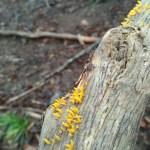 pečurka žuta rogatica