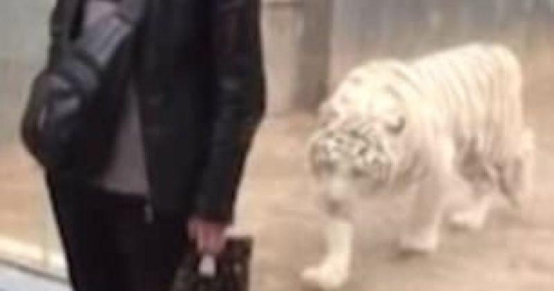 Tigri përplaset në xham, provoi ta sulmonte vizitorin e kopshtit zoologjik (Video)