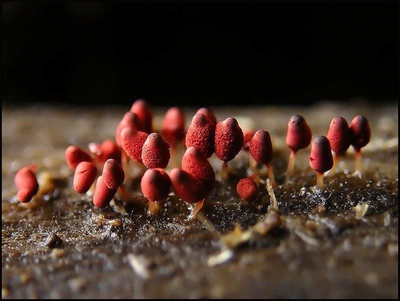 Миксомицеты (38 фото)