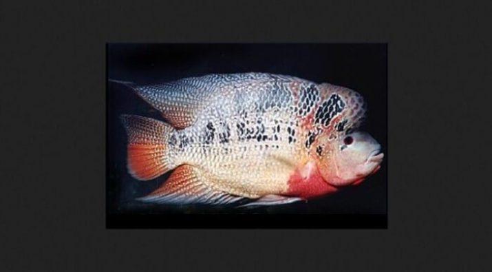 Gambar Ikan Louhan Louhan Strom