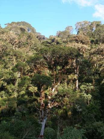 Guandera (Clusia flavoflora) forest