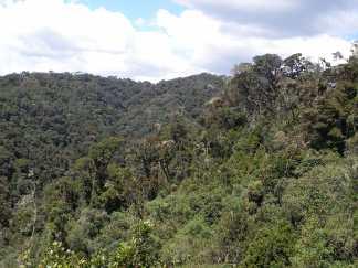 Guandera (Clusia flavoflora)