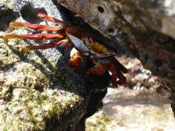 Zayapa (Grapsus grapsus)