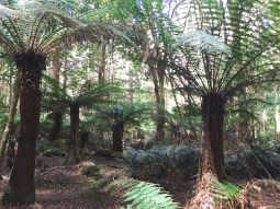 Temperate rainforest with eucalyptus and fern tree (Dicksonia antarctica).
