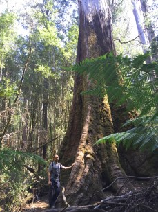 Swamp gum (Eucalyptus regnans) is the tallest flowering plant and one of the tallest trees in the world, second to the coast redwood (Sequoia sempervirens). It regularly grows to 85 metres