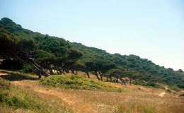 Cadiz - Caños de Meca - Pinus pinea