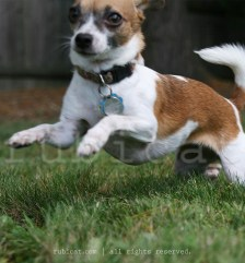 A Chihuahua leap is tiny, but mighty!