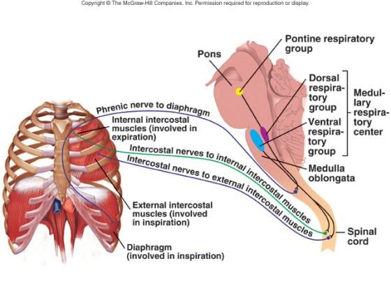 Regulation of Ventilation « Anatomy and Physiology