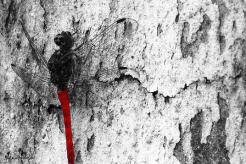 Crimson Dragonfly by rubys polaroid