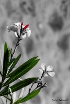 pink oleander bloom in monochrome by rubys polaroid