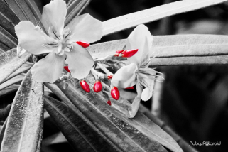 pink oleander monochrome by rubys polaroid