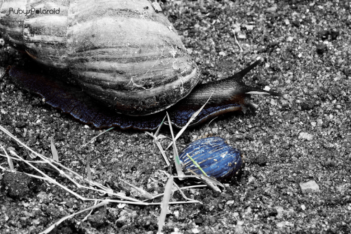 Snail and Blue Pebble by rubys polaroid
