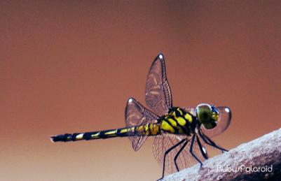 Yellow dragonfly 4 by rubys polaroid