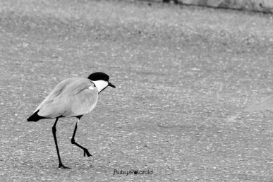 Spur-winged Lapwing 3 by rubys polaroid