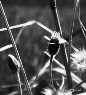 wild flower 2 monochrome by rubys polaroid
