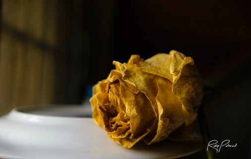 Dying Yellow Rose by rubys polaroid