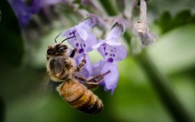 Semez des plantes mellifères pour nourrir les abeilles